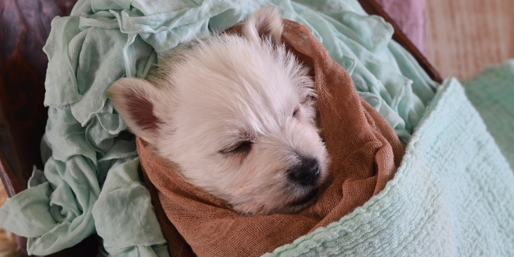 West Highland White Terrier Puppies Lake Norman NC